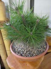 Pinus densiflora Jane Kluis - Japanische Rotkiefer Jane Kluis 25-30