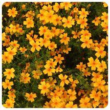Tagetes Tangerine Gem Orange Gewürztagetes mit Mandarinengeschmack Teepflanze