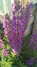 Lupine Lupinensamen lila Pflanzensamen 30 Samen Lupinus polyphyllus
