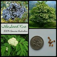20+ BLUE ELDERBERRY TREE SEEDS (Sambucus caerulea) Organic Edible Fruit