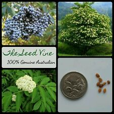 20+ BLUE ELDERBERRY TREE SEEDS (Sambucus caerulea) Organic Edible Fruit