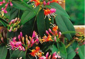 LONICERA HONEYSUCKLE HENRYII 9CM POT CLIMBING PLANT, EVERGREEN, FAST CLIMBER,
