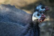 French Pearl Guinea Fowl Hatching Eggs Pre sale