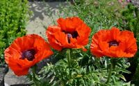 Poppy Flower Seeds Papaver Orientale Orange Heirloom from Ukraine