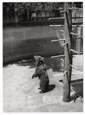 PHOTO ANCIENNE Animal Ours en captivité ZOO Vers 1960 Vintage Print Debout