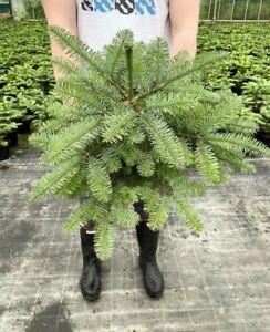 CHRISTMAS TREE  LIVE Pot grown Noble Fir 1-2 Ft