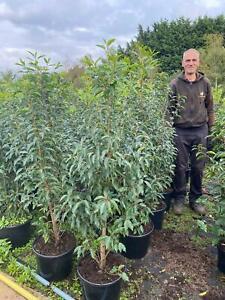 Pallet 10x 4ft Large Prunus Lusitanica Portuguese Laurel Hedging Trees 15/20L