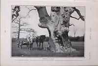 1903 Estampado Grande Roble Estudio por Richard Scriven Castle Ashby Northampton