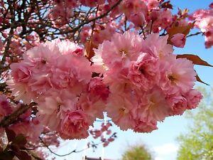Prunus serrulata Kanzan, japanische Nelkenkirsche, 60cm, Zierkirsche