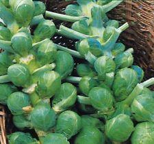 Légumes Bruxelles Germer Bedford Darkmar 21 Environ 500 Graines