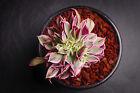 Aeonium arboreum 'Sunburst' CREST Succulent rare plant - Display in 80mm pot