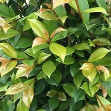BACKYARD BLISS LILLY PILLY Syzygium paniculata native topiary plant in 140mm pot