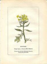 Stampa antica PIANTE DELLA BIBBIA SENAPE Sinapis nigra 1842 Old antique print