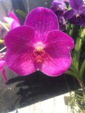 Advanced Seedling Vanda Orchid Plant.... V. Fuchs Delight x V. Dr Anek