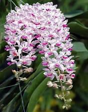 "2 Rhynchostylis gigantea Kra White-Purple spot orchid flower size x 1"" pot"