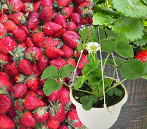 Erdbeere Hängend Obstpflanze Erdbeerpflanzen Beetpflanze Obstpflanze im Topf