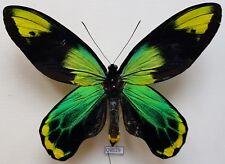 Ornithoptera victoriae Maramasikensis - Maramasike Is., Malaita subdestrict