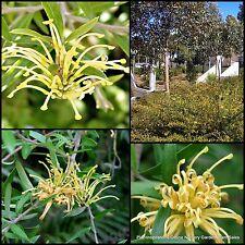8 Grevillea Canterbury Gold Hardy Native Garden Plant Hedge juniperina victoriae