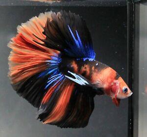 Thai Betta Plakat Fish Red Live KOI Fight Flower Aqua Pet Wild Home Garden Fancy