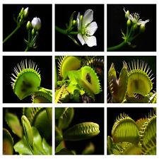 40pcs Rare VENUS FLY TRAP Muscipula CARNIVOROUS Flower Seeds Dionaea