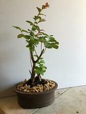 Red crepe myrtle bonsai tree. Amazing blooms