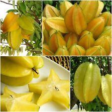 Star Fruit 10 Fresh Seeds, Carambola, Thailand Exotic tree Seasonal Juicy Fruits