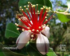 Süße Früchte - 10 Samen Ananas-Guave - Acca sellowiana - Feijoa- Pineapple Guava
