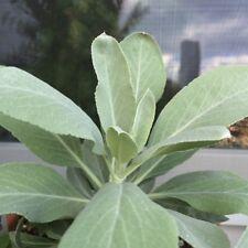 Räucher-Salbei Salvia apiana White Sage Weißer Salbei Indianersalbei