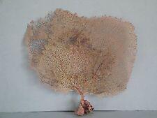 "8""x 7.3"" Pink Sea Fan Seashells Reef Coral"