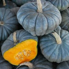 Seeds Rare Pumpkin Queensland Blue Giant Halloween Vegetable Organic Ukraine