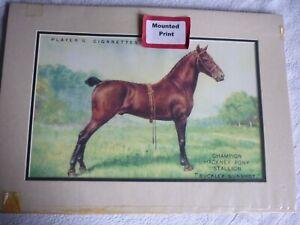 """Champion Hackney Pony Stallion """"Buckley Gunshot""""  horse, mounted print to frame"""