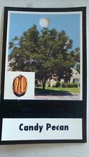 Candy Pecan Tree Shade Trees Live Healthy Plant Large Pecans Nuts Wood Garden