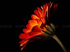 RED ORANGE GERBERA FLOWER PHOTO ART PRINT POSTER PICTURE BMP1259A