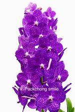 V. Packchong Smile Purple Orchid Vanda Blooming Size
