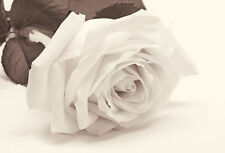 BEAUTIFUL CREAM ROSE CANVAS PICTURE #51 STUNNING FLORAL FLOWERS A1 CANVAS