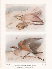 BIRD PRINT 60 YEARS OLD COLLARED PRATINCOLE & COURSER BIRDS OF THE BRITISH ISLES