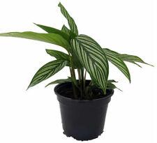 "Calathea Uncommon Vittata Peacock Live Plant Easy Houseplant 4"" Pot Indoor"