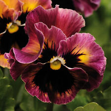 20 pansy seeds FRIZZLE SIZZLE RASPBERRY stylish, ruffled, raspberry-pink flowers