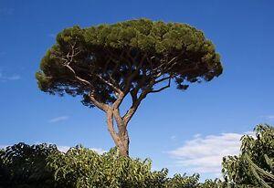 1 PLANT Pinus pinea TREE PLANT pino a ombrello pino domestico