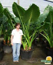 Alocasia Calidora live plant 2 ft tall (Persian Palm, Elephant Ear, Colocasia)