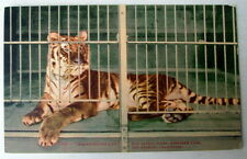 LOS ANGELES CA POSTCARD MAN EATING TIGER IN CAGE #22ddc