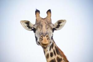 Giraffe Close Up Portrait Photo Photograph Cubicle Locker Mini Art Poster 12x8