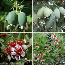 Delicious Pineapple Guava 30 Fresh Seeds,Free shipping, Rare Fruit Seeds
