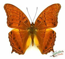Malay cruiser butterfly Vindula dejone celebensis SET x1 M Sulawesi art framing