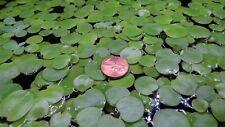12 Amazon Frogbit (Limnobium Laevigatum) - Floating Plants for Aquarium and Pond