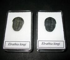 Cambrian Trilobite Elrathia kingi excellent larger specimens in display case