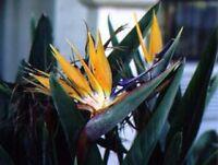 wunderschöne vogelartige Blüten: die PARADIESVOGELBLUME