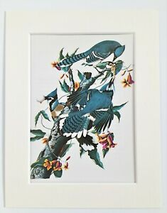 Blue Jay Print - Audubon - 1970s Vintage Mounted Colour Print