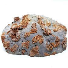Stromatolite Fossil Inzeria Intia - Australia - 800 Million Years Old