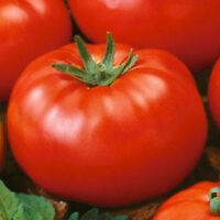 Tomato Seeds Beefsteak Tomato 1,000 Seeds